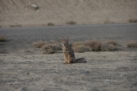 003 patagonischer Fuchs