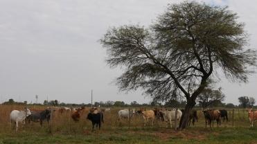 005 Kühe im Chaco (1)