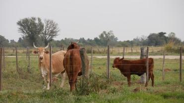 005 Kühe im Chaco (2)