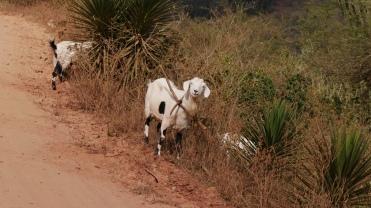 002-ruta-del-che-cabras