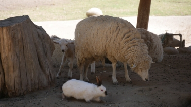 006-ovejas-con-conejo