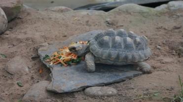 008-tortuga-del-chaco