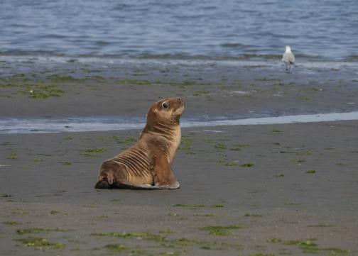 002-paracas-seehund