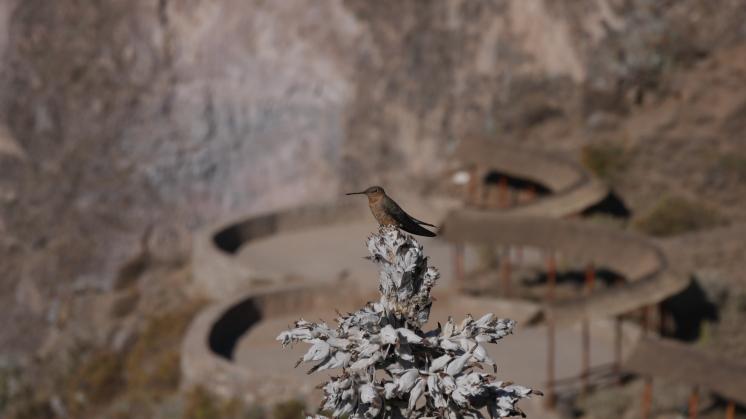 007-grosster-kolibri-der-welt_giant-hummingbird