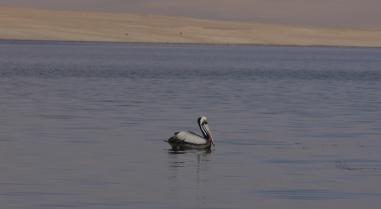 009-paracs-pelikane