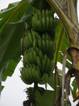001-bananen