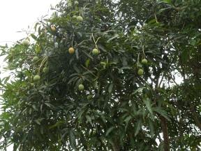 001-mango-baum