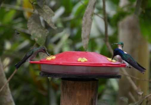 001-kolibri