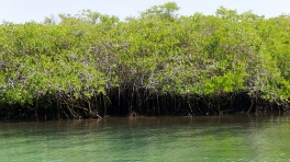 004-mangroven