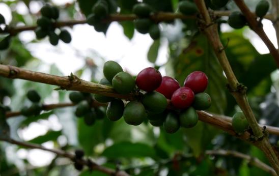 005 Café-Hacienda Guayabal