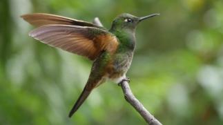 006 Kolibri im Valle del Cocora