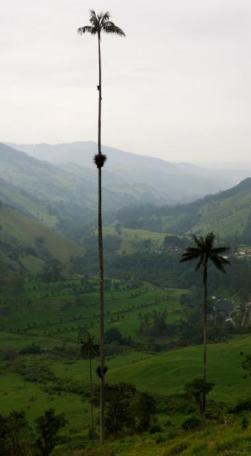 014 Wachspalmen im Valle del Cocora