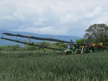 001 Arbeiter auf der Ananasplantage