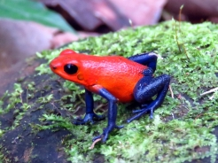 001 Pfeilgiftfrosch - Red-and-bleu Poison Frog