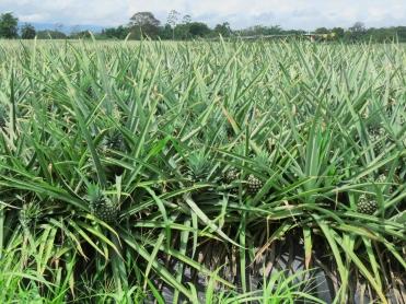 002 Ananasplantage