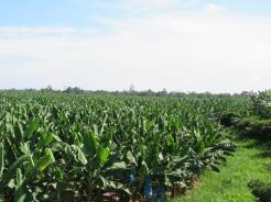 003 Bananenplantage
