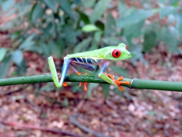 008 Rotaugenlaubfrosch - Red-eyed Tree Frog