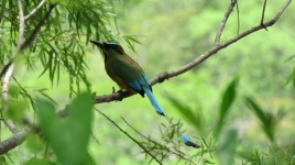 008 Nationalvogel Nicaragua