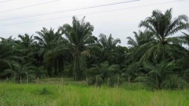 003 Ölpalmen-Plantagen