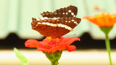 010 Schmetterlinge im Garten