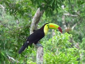 003 Tukan in Tikal