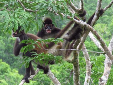 005 Klammeräffchen in Tikal