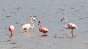 002 Flamingos in Chuburná Puerto