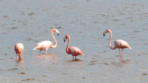 002 Flamingos in Chuburná Puerto