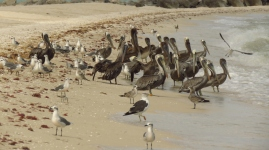 002 Pelikane in Sisal