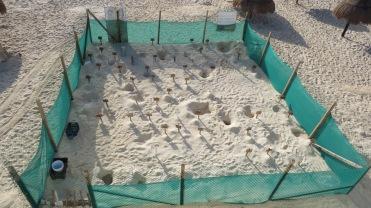003 Meeresschildkröten-Eier