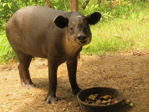 007 Tapir