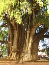 002 Árbol de Tule