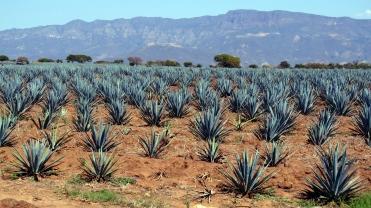 002 Agavenfelder im Bundesstaat Jalisco