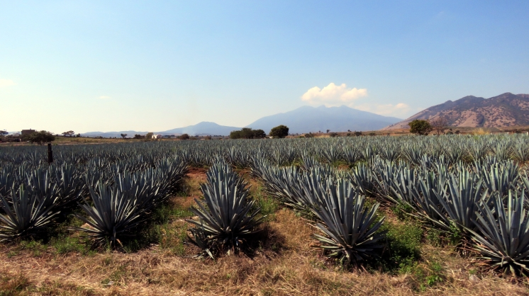 003 Agavenfelder im Bundesstaat Jalisco